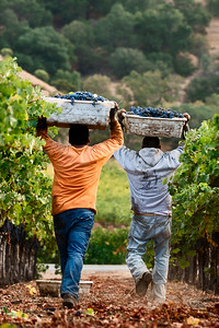 Harvest Teamwork, Napa Valley
