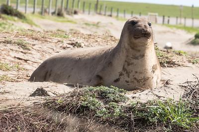 Elephant Seal - Piedras Blancas California