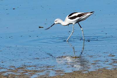 American Avocet - Salton Sea