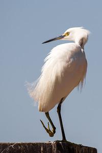 Snowy Egret - Salton Sea