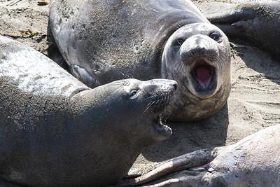 Elephant Seals - Piedras Blancas, California