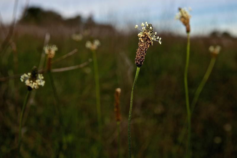 Wilder Weed, Wilder State Park.