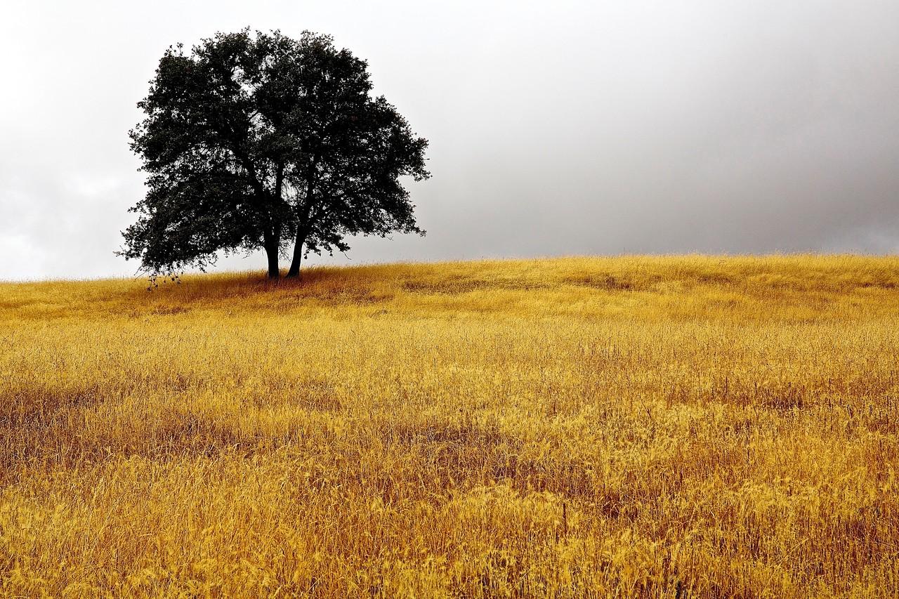 Tree, Sierra Foothills, California