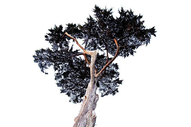 Tree. Santa Cruz