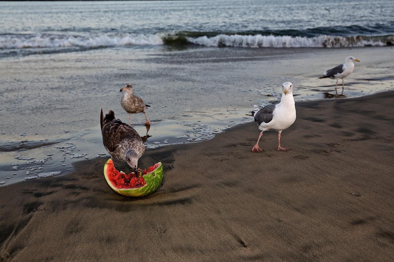 Feasting Seagulls.  Santa Cruz Boardwalk Beach