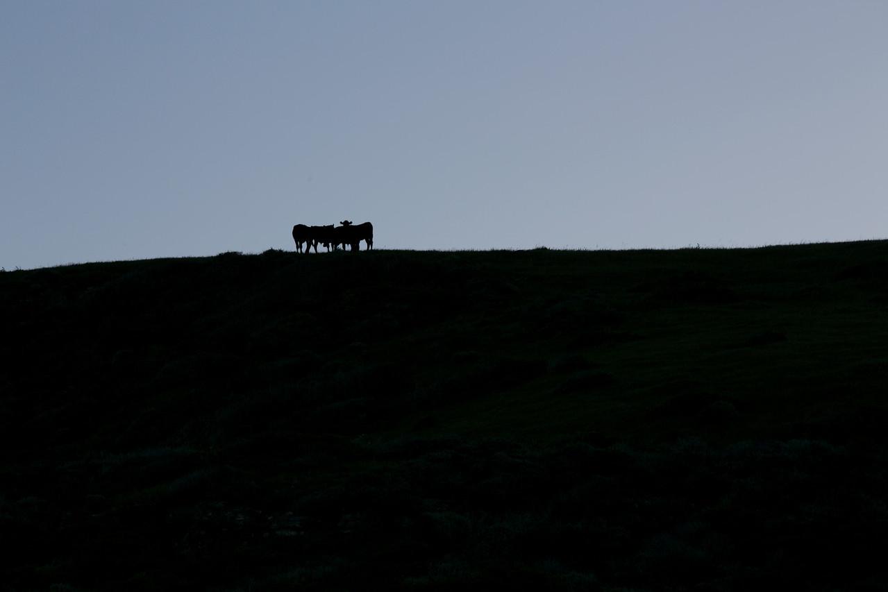 Alert Cow.  Hwy 1, Santa Cruz County