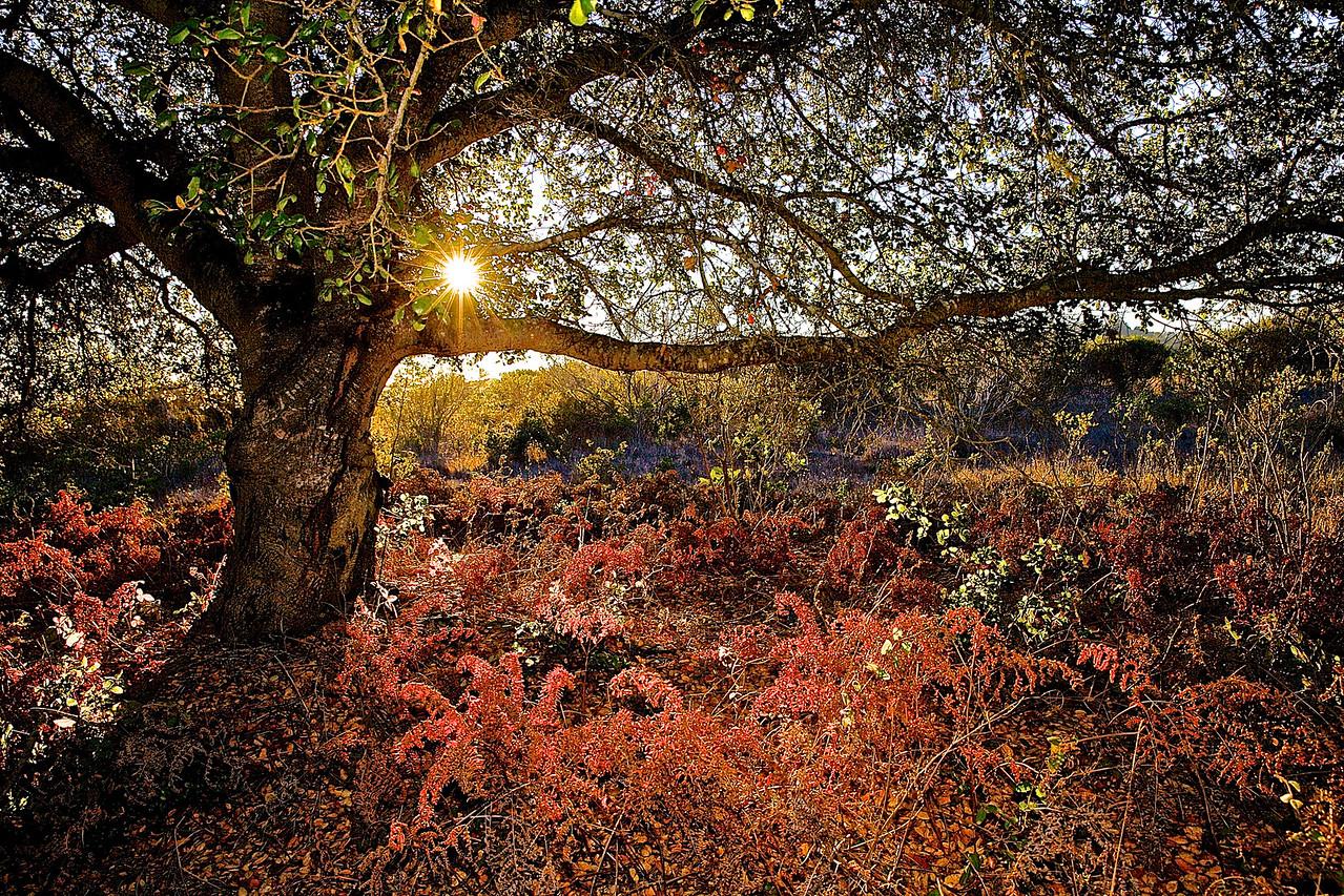 Oak.  Wilder State Park, Santa Cruz County