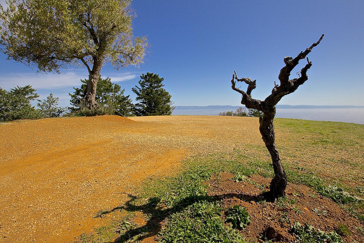 Vine.  Ridge's Monte Bello Winery, Santa Cruz County