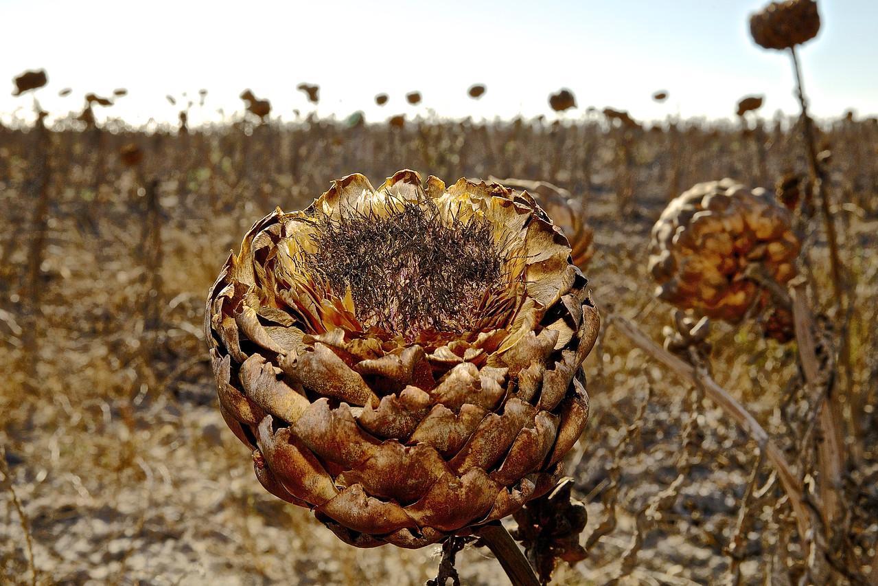 Dried Up Artichoke, Santa Cruz County Farm