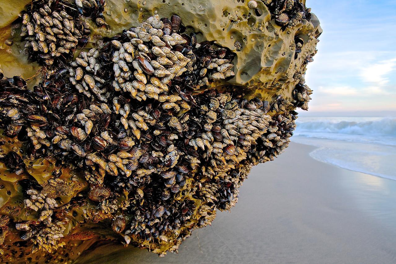 Mussels and Barnacles.  Santa Cruz County Coast.