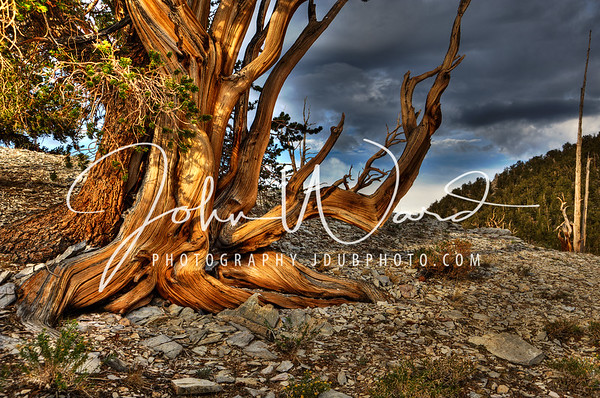 CALIFORNIA ANCIENT BRISTLECONE PINE FOREST