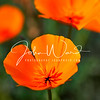 California Poppies and other wildflowers