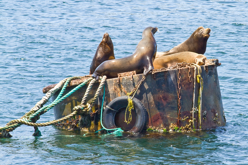 At Monterey, sea lions complain loudly about something or other