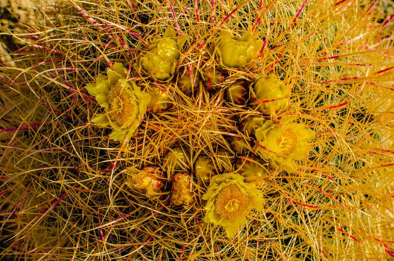 Cactus Blooming