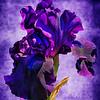 Purple & Blue Iris