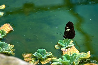 Butterfly Gardens Z6-0787 - 10-25 am