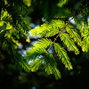 The Lovely Dawn Redwood