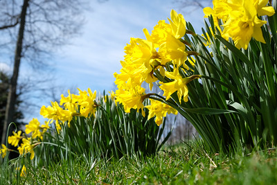 More spring daffodils :-)