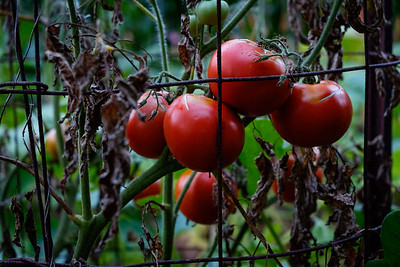Late tomatoes