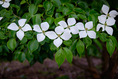 The spring beauty - Dogwood