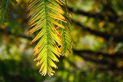 Dawn Redwood Splendor