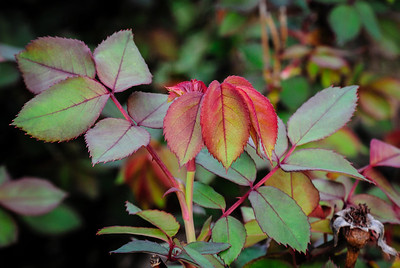 Beautiful rose leaves - New growth