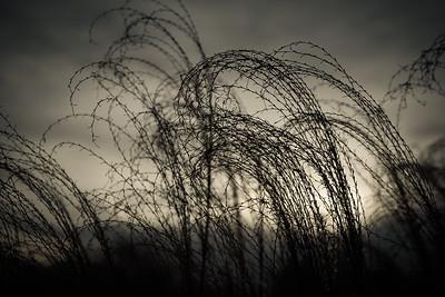 Windswept miscanthus