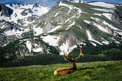 An elk rests in the Rocky Mountain National Park