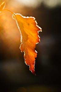 Morning Birch