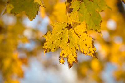 Some of the last maple leaves