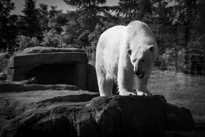 Lens:  Panasonic Leica 12-60mm f/2.8-4 (shot through thick zoo glass with reflections)