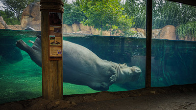 Happy Hippo - Cincinnati Zoo