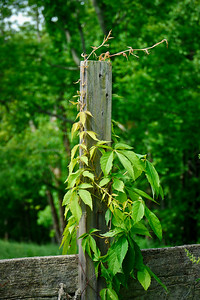 Virginia Creeper