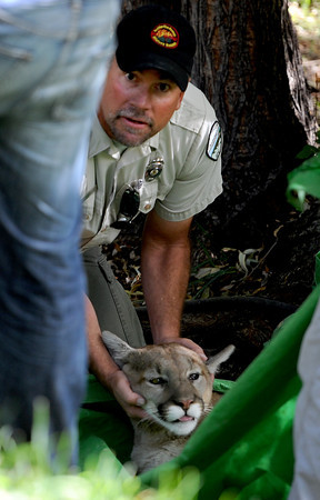 """Pete Taylor of the City of Boulder Open Space and Mountain Parks, holds the head of a mountain lion that was tranquilized in a tree near a pond of the University of Colorado Kittredge dorms  on Thursday afternoon.<br /> For a video and more photos of the mountain lion, go to  <a href=""""http://www.dailycamera.com"""">http://www.dailycamera.com</a>.<br /> Cliff Grassmick / October 5, 2011"""