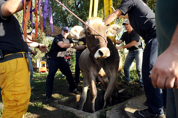 "Mountain View firefighter Stew Visser, center left, and farmer Keith Lafferty, center right, work to rescue a cow that fell into a well on Lafferty's property on Friday, Oct. 7, at 12166 Jay Rd. in Erie. For more photos and video of the rescue go to  <a href=""http://www.dailycamera.com"">http://www.dailycamera.com</a><br /> Jeremy Papasso/ Camera"