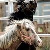 "0516HORSE3.jpg Fearless (front) and Ember (back), both rescued mustangs play together in the pen at Medicine Horse Program in Boulder, Colorado May 16, 2011.  Medicine Horse Program partnered with the Veterans Peace of Mind Project to create Fearless Victory, a program that mixes Veterans suffering from Post Traumatic Stress Disorder (PTSD) with wild horses in a mindful meditation program. CAMERA/Mark Leffingwell<br /> <br /> Watch the video on the Fearless Victory Program at  <a href=""http://www.dailycamera.com"">http://www.dailycamera.com</a>"
