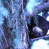 BEAR2.jpg A mother bear snoozes in a tree as her cubs hide higher up in the branches in eastern Boulder off Baseline Road on Monday afternoon.<br /> Photo by Paul Aiken / The Camera / September 19, 2011