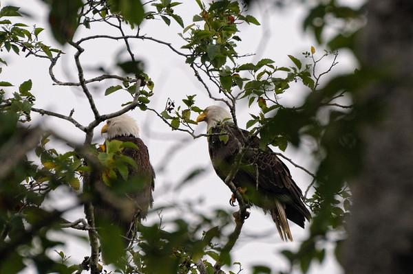 les aigles vivent en général en couple