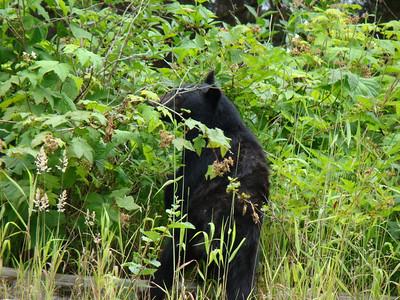 sur le bord de la route, un ours mange ces sortes de framboises qui n'ont aucun gout ( j'ai essayé!!!)