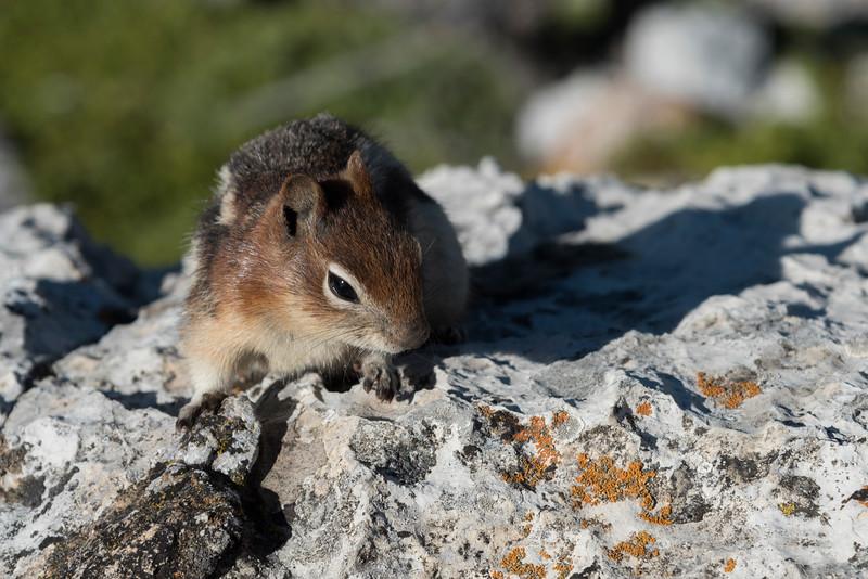 Close-up of Squirrel, Waterton Park, Alberta, Canada