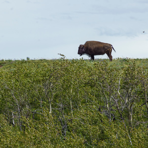 Bison grazing in field, Waterton Lakes National Park, Alberta, Canada