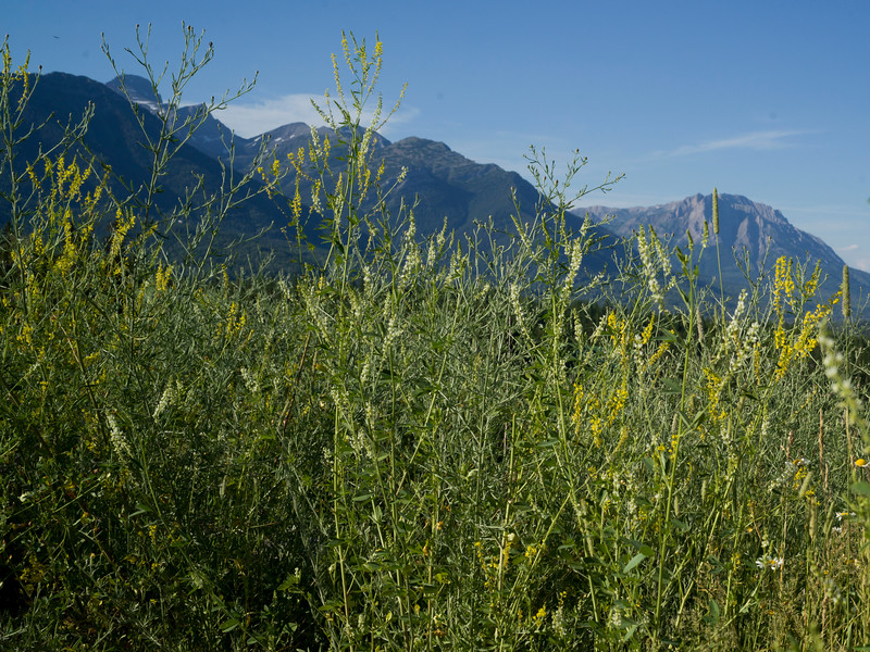 Plants with mountain range in the background, Fernie, British Columbia, Canada