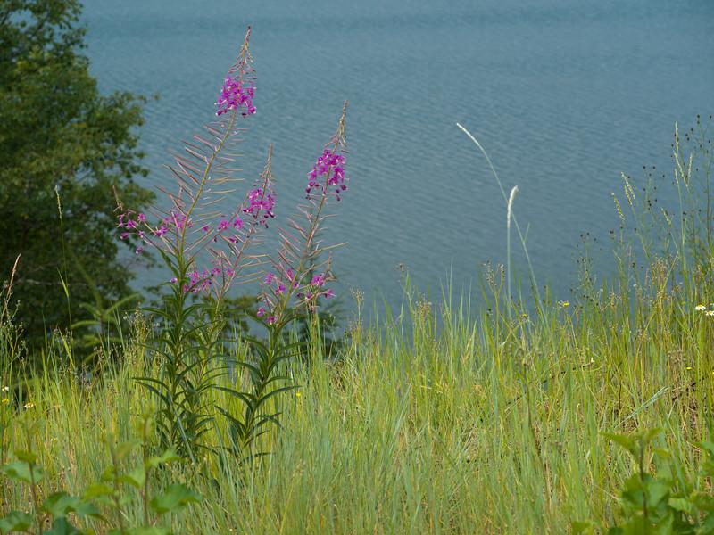 Wildflowers growing on lakeshore, British Columbia, Canada