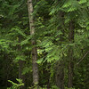 Trees in forest, Revelstoke, British Columbia, Canada