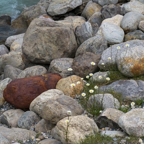 Wildflowers growing between rocks, Radium Hot Springs, British Columbia, Canada
