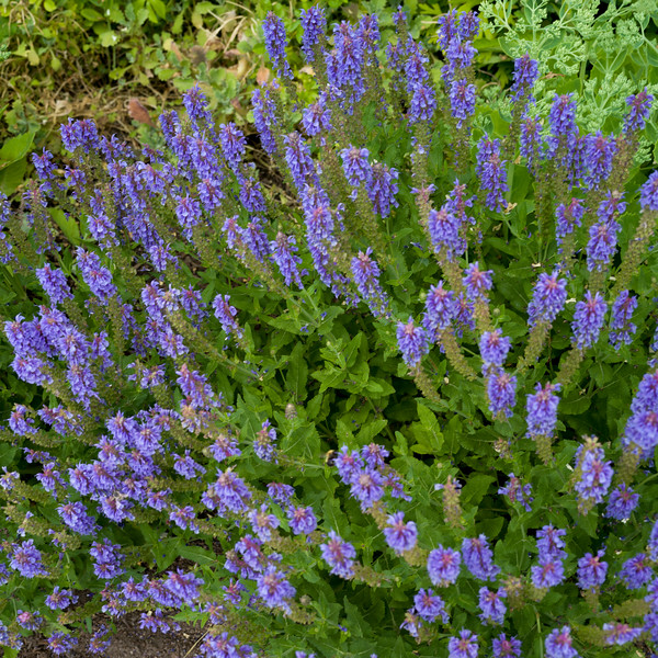 Close-up of wildflowers, New Denver, British Columbia, Canada