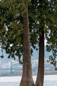 Trees with Lions Gate Bridge in background, Vancouver, British Columbia, Canada