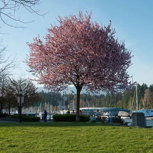 Cherry tree in blossom at marina, Vancouver, British Columbia, Canada