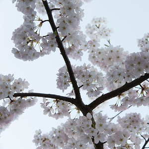 White cherry blossoms, Vancouver, British Columbia, Canada