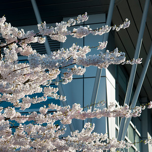 Cherry blossoms in front of a modern glass building, Vancouver, British Columbia, Canada